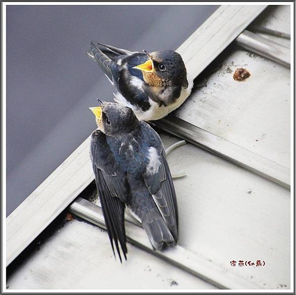 家燕幼鳥2015052113