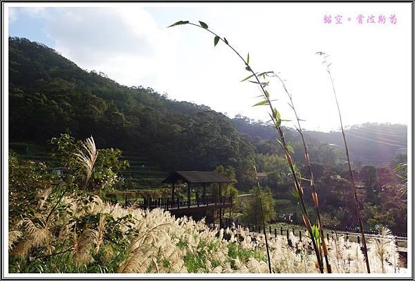 貓空賞波斯菊20151105