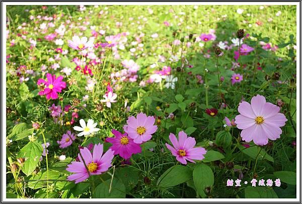 貓空賞波斯菊20151108