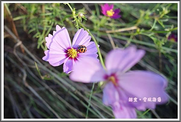 貓空賞波斯菊20151114