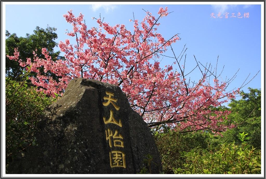 2017天元宮三色櫻08