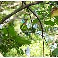 五色鳥/台北植物園/2012121401
