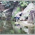 喜鵲/中正紀念堂/2013032602