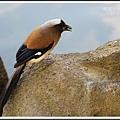 樹鵲。中正紀念堂20140124