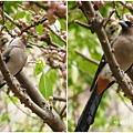 樹鵲。台大校園20120400