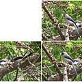 樹鵲。台大校園20120401