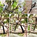 樹鵲。台大校園20120402