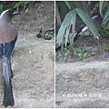 樹鵲。板橋林家花園20120328