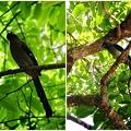 樹鵲。台北植物園20120429
