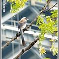 樹鵲。新板萬坪都會公園2012091800
