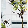 樹鵲。新板萬坪都會公園2012091801