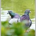 鴿子。中正紀念堂20120525