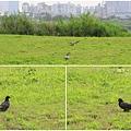 鴿子。大台北都會公園20141215