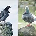 鴿子。中正紀念堂2012051100
