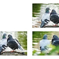 鴿子。中正紀念堂2012051101