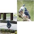 鴿子。台大校園20120303