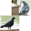 鴿子。台大校園20120322