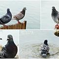 鴿子。台大校園20121115