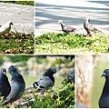 鴿子。台大校園20130304