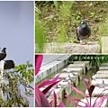 鴿子。板橋萬坪都會公園