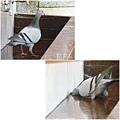 鴿子。碧山巖20120524