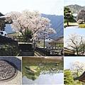 2014北陸櫻花紀行D5026
