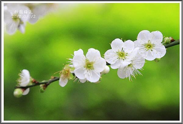 校園梅花2015011205