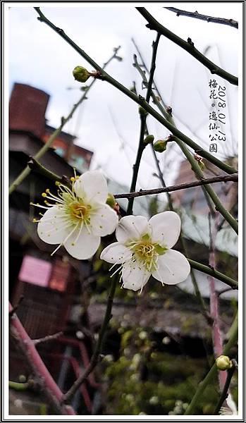 逸仙公園梅花2018011301