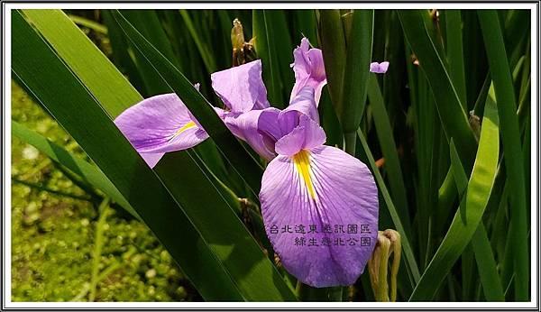 青龍鳶尾 台北遠東通訊園區 綠生態北公園