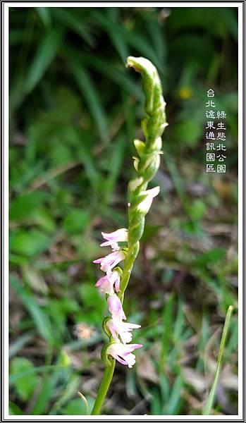綬草01 台北遠東通訊園區 綠生態北公園