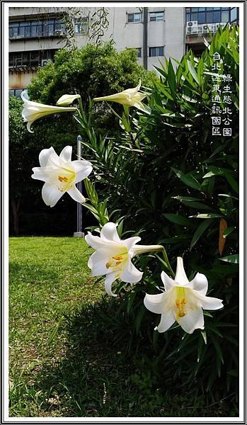 鐵砲百合01 台北遠東通訊園區 綠生態北公園