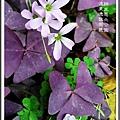 紫葉酢醬草 台北遠東通訊園區 綠生態北公園