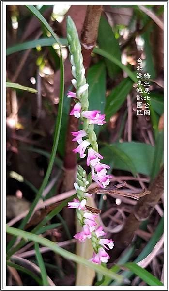 綬草03 台北遠東通訊園區 綠生態北公園