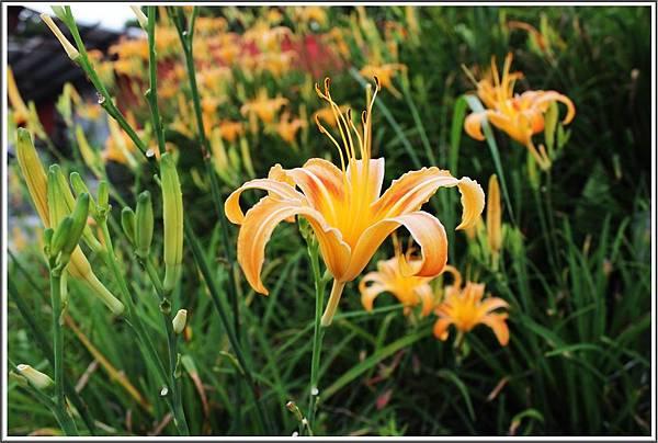 汐止五東山的美麗金針花。
