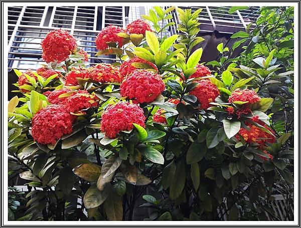 隱身都市巷弄裡的美豔仙丹花。