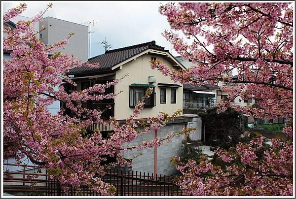 日本京都賞櫻自由行 淀水路。