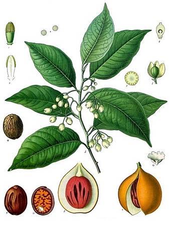 (Nugmet)Myristica_fragrans_-_Köhler–s_Medizinal-Pflanzen-097
