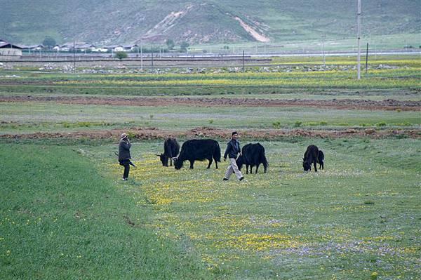 牧人與氂牛