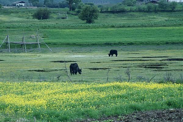 縣城附近_氂牛與草原