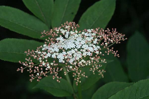 特別的高山花種