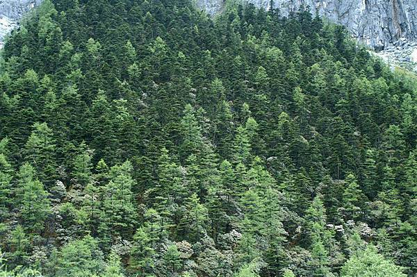 多樣的高山樹種_漸層排列,很是美麗!