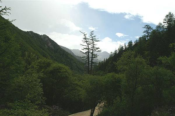 多樣的高山樹種_奇特的鴛鴦樹