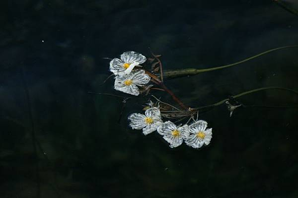 五朵海菜花_Lucky