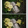 001種在土裡的黃金菇01.jpg