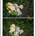 001種在土裡的黃金菇02.jpg