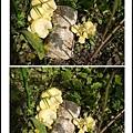 001種在土裡的黃金菇03.jpg