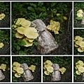 001種在土裡的黃金菇04.jpg