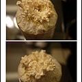005豐年農場太空包-白雪菇03.jpg
