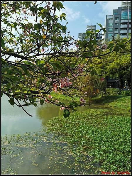 麗池公園櫻花汀甫圳賞櫻步道009.jpg