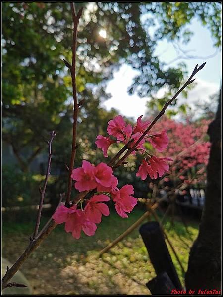 麗池公園櫻花汀甫圳賞櫻步道031.jpg